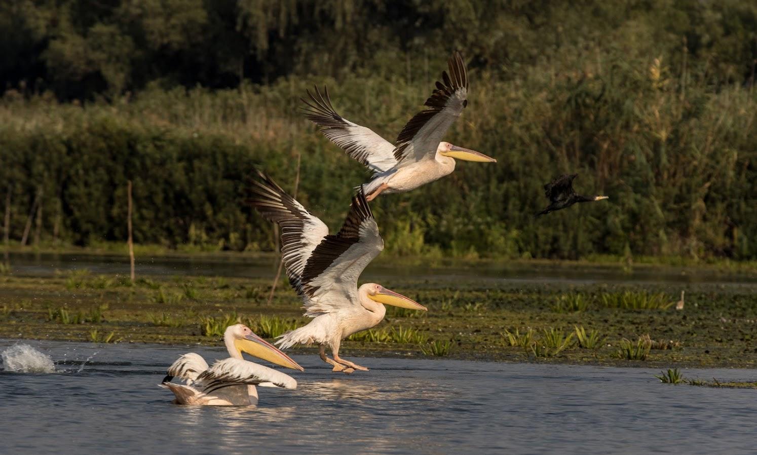 Donaudelta Pelikane